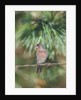 House Finch by Corbis