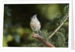 Tufted Titmouse by Corbis