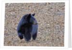 American Black Bear by Corbis