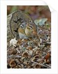 Eastern American chipmunk by Corbis