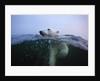 Polar Bear, Hudson Bay, Canada by Corbis
