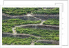 The vineyards of the Douro Valley above Pinhao are set on terraced hillsides above the Douro River by Corbis
