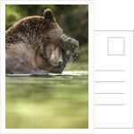 Brown Bear, Katmai National Park, Alaska by Corbis