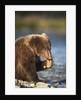 Brown Bear Cub, Katmai National Park, Alaska by Corbis