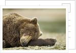 Sleeping Brown Bear, Katmai National Park, Alaska by Corbis