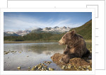 Brown Bear, Katmai National Park, Alaska by Corbis