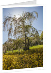 Cherry blossoma and Forsythia bush by Corbis