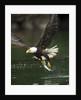 Bald Eagle, British Columbia, Canada by Corbis
