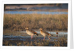 Egyptian Goose (Alopochen aegyptiaca) by Corbis
