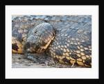 Nile Crocodile (Crocodylus niloticus) by Corbis