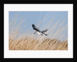 Pied Kingfisher (Ceryle rudis) by Corbis
