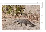 Banded Mongoose (Mungos mungo) by Corbis