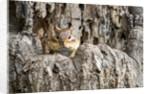 Eastern Chipmunk by Corbis