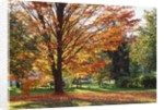Park tree covered in autumn colors, Orwell, Vermont, USA by Corbis