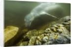 Underwater Leopard Seal, Antarctica by Corbis