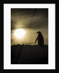 Gentoo Penguin at Sunset, Antarctica by Corbis