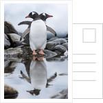 Gentoo Penguins, Antarctica by Corbis
