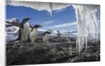 Gentoo Penguins and Icicles, Antarctica by Corbis