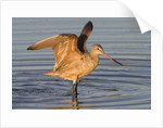 Marbled Godwit with raised wings by Corbis