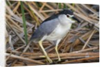 Black-Crowned Night-Heron by Corbis