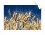 Close up Look at Harvest Wheat and Blue Sky by Corbis
