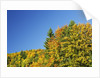 Mountain forest with red beeches in autumn colors, Cerkno, Julian Alps, Slovenia by Corbis
