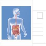 Digestive system, illustration by Corbis