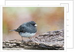 Dark-eyed Junco by Corbis