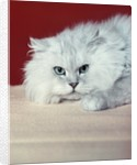 gray White Long Haired Cat Blue Eyes Pink Nose Looking At Camera Uncertain Secret Mean Expression by Corbis