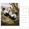 A Silver Wyandotte Cockerel by E G Wippell