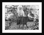 A shaggy looking dog awaits grooming on a table, ca. 1910 by Corbis