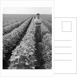 1970s Man Standing With Arms Crossed Among Rows Of Large Soybean Crop Looking At Camera by Corbis