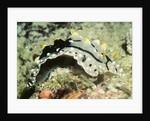 Elegant Phyllidia by Corbis