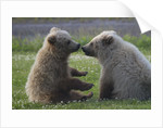 Nuzzling Grizzly Bear Cubs by Corbis