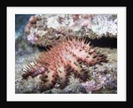 Crown-of-Thorns Sea Star by Corbis