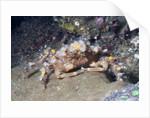 Decorator Crab by Corbis