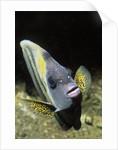Cortez Angelfish by Corbis