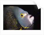 French Angelfish close-up by Corbis