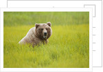 Grizzly bear eating by Corbis