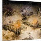 Tube-dwelling anemone by Corbis