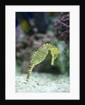 Pacific seahorse by Corbis