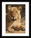 Lioness (Panthera leo) by Corbis