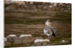 Egyptian Goose by Corbis