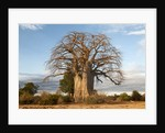 Baobab Tree by Corbis