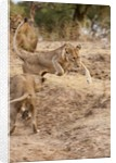 Young Lions (Panthera leo) by Corbis