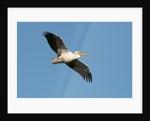 Great white pelican (Pelecanus onocrotalus) by Corbis