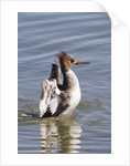 Red-Breasted Merganser female flapping wings by Corbis
