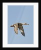 Female Northern Shoveler Duck in flight by Corbis
