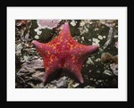 Bat Star by Corbis