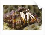 Small White Hermit Crab by Corbis